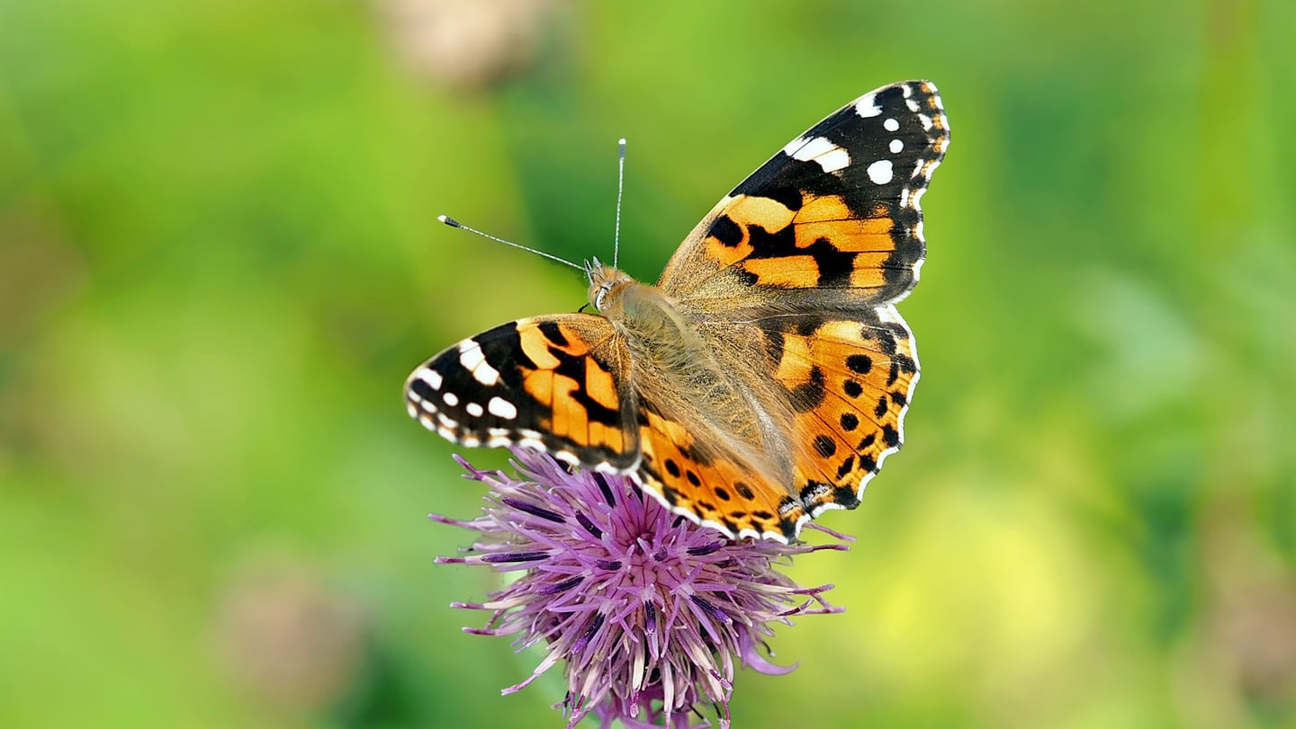 Living Nature Butterfly